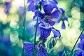 Purpleblue1 (110980141).jpeg
