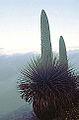 Puya raimondi (8400397679).jpg
