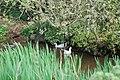 Pwll hwyaid Fferm Tynrhos Duckpond - geograph.org.uk - 415837.jpg