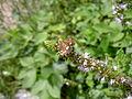 Pyrausta Aurata Netherlands.jpg