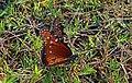 Queen Butterfly pair. Nolan County TX. 9 2013 (9681597962).jpg