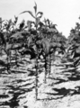 Queensland State Archives 4234 Tobacco plant midway between harvesting 1933.png
