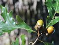 Quercus alba 2-acorn branch.jpg