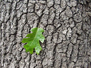 Quercus kelloggii - California black oak leaf and bark