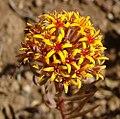 Quinchamalium chilense (8664613110).jpg