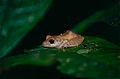 Rain Frog (Pristimantis inguinalis) (10382213826).jpg