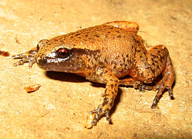Rain Frog - Austrochaperina pluvialis.jpg