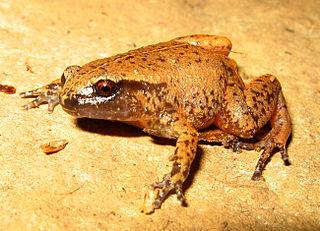 <i>Austrochaperina pluvialis</i> Species of amphibian