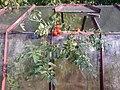 Rajčata&skleník.JPG