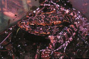 Gopher frog - Image: Rana capito