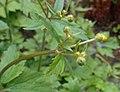Ranunculus lanuginosus 2017-04-30 9114.jpg