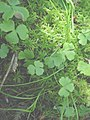 Ranunculus lapponicus 3-eheep (5097367895).jpg