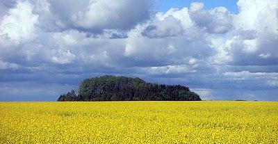 Rapsfält, raps odlas för tillverkning av matolja och margarin
