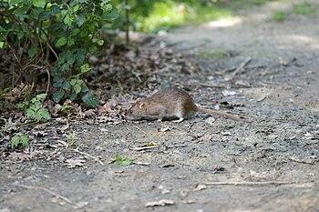 It's a Rat!!