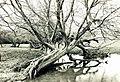Reclining Willow - geograph.org.uk - 905209.jpg