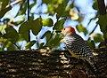 Red-bellied Woodpecker (45208877671).jpg
