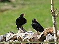 Red-billed Chough (Pyrrhocorax pyrrhocorax) (28382139174).jpg