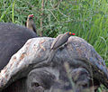 Red-billed Oxpecker (Buphagus erythrorhynchus) - Flickr - Lip Kee (2).jpg