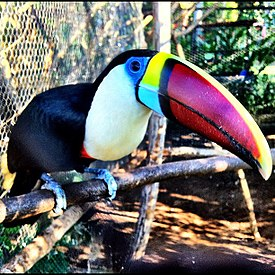 Red-billed toucan.jpg