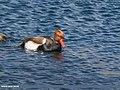 Red-crested Pochard (Netta rufina) (34005191022).jpg
