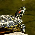 Red-eared Slider (14585091976).jpg