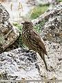 Red-fronted Rosefinch (Carpodacus puniceus) (34944448184).jpg