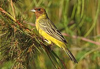 Red-headed Bunting Emberiza bruniceps Male by Dr. Raju Kasambe DSCN2285 (47).jpg