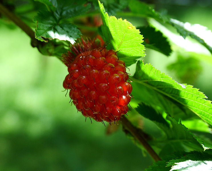 743px-Red-salmonberry