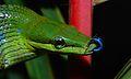 Red-tailed Green Rat Snake (Gonyosoma oxycephalum) (8678575652).jpg