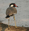 Red-wattled Lapwing (Vanellus indicus) at Hodal Iws IMG 1258.jpg