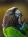 Red Fan Parrot Endangered Species with ID ring on leg.jpg
