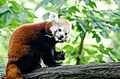 Red Panda (20068846026).jpg