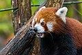 Red Panda (37661061855).jpg
