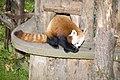 Red Panda - Dublin Zoo - 29 Oct. 2006.jpg