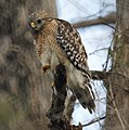 Red Shouldered Hawk (4341800201).jpg