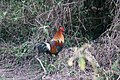 Red junglefowl at Chitwan National Park.jpg