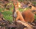 Red squirrel (explored) - Flickr - hedera.baltica (3).jpg