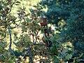 Red squirrel eating acorns.jpg