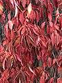 Red vines (30359511247).jpg