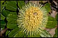 Redcliffe Banksia Small 02+ (2569036213).jpg