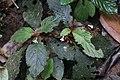 Reldia multiflora (Gesneriaceae) (45913157341).jpg