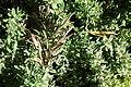 Rhagodia spinescens - Leaning Pine Arboretum - DSC05456.JPG