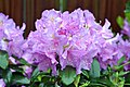 Rhododendron After The Rain (6958279446).jpg