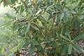 Rhododendron catawbiense у Мінскім батанічным садзе.jpg