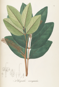 Rhopala inaequalis Pohl89.png