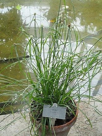 Rhynchospora colorata - Image: Rhynchospora colorata Copenhagen Botanical Garden DSC07963
