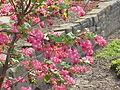 Ribes sanguineum1.jpg
