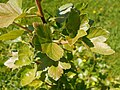 Ribes saxatile 2017-05-23 0780.jpg