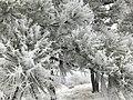 Rime on pine.jpg