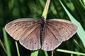 Ringlet butterfly (Aphantopus hyperantus) 2 spots worn.jpg